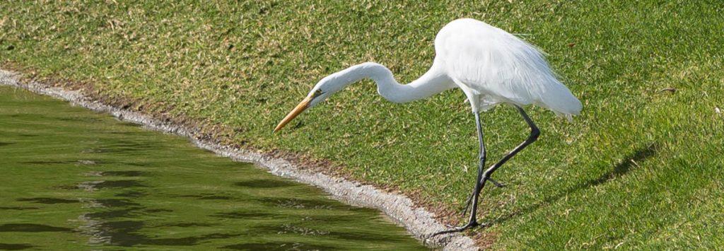 Black Legged Egret, Optimism, A Daily Affirmation, www.adailyaffirmation.com