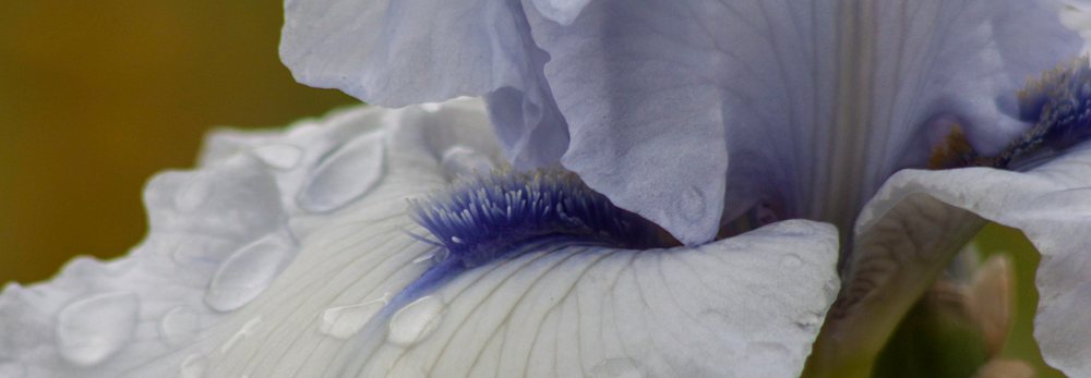 White and Violet Iris, A Daily Affirmation, Peace and Forgiveness, www.adailyaffirmation.com