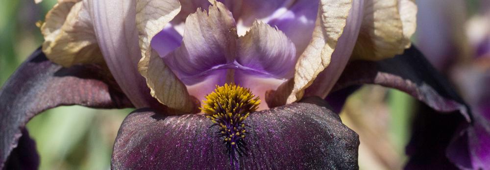 Iris, Fulfilling Purpose, A Daily Affirmation, www.adailyaffirmation.com
