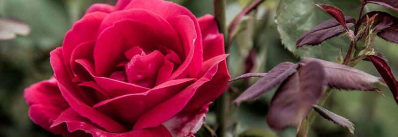 Rose, Desire, A Daily Affirmation, www.adailyaffirmation.com